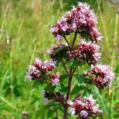 Origanum vulgaris