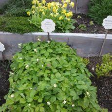 Fragaria vesca (Walderdbeeren) und Primula veris (Echte Schlüsselblumen) blühen um die Wette