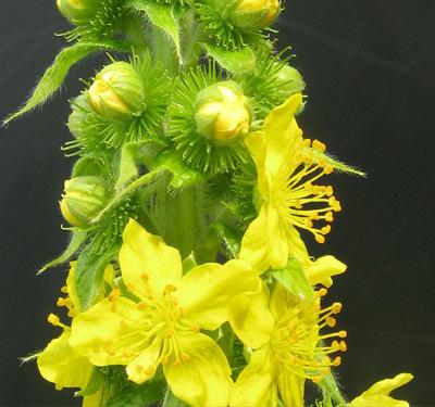 Agrimonia procera
