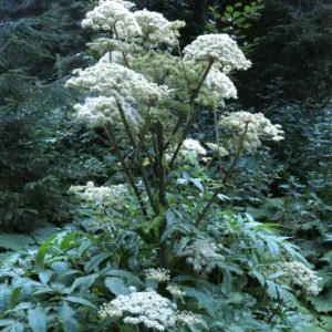 Angelica-sylvestris