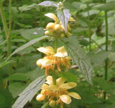 Galeobdolon montanum B