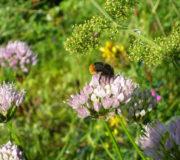 Hummel-auf-Allium-senescens