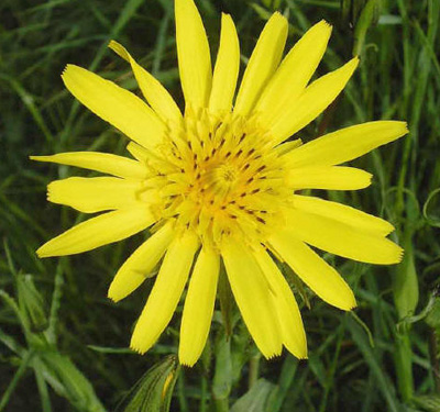 Tragopogon orientalis