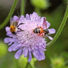 Wildbienen-auf-Wiesenwitwenblume