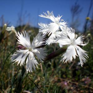 Dianthus serotinus / Späte Federnelke