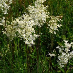 Filipendula vulgaris / Klein Mädesüß