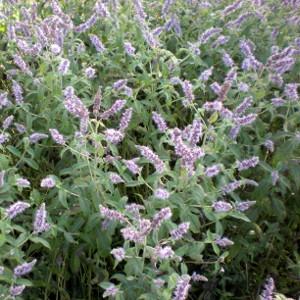 Mentha longifolia / Rossminze