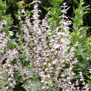 Salvia sclarea / Muskateller Salbei