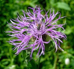 Centaurea-scabiosa-300x281