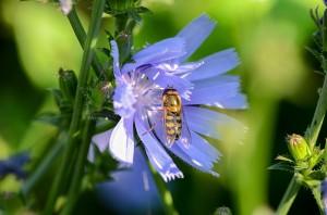 wegwarte-wildbiene-300x198